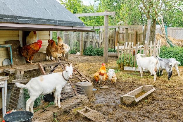 Cabra e galinha ao ar livre na fazenda de animais orgânicos pastando livremente no quintal no fundo do rancho galinha ch ...
