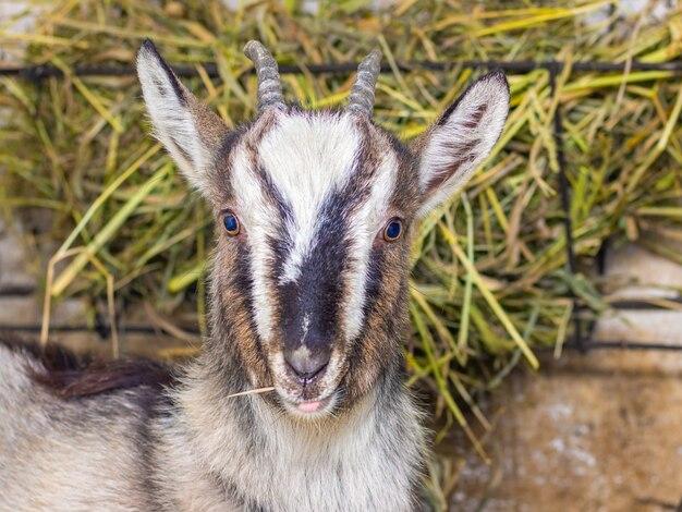 Cabra em uma fazenda perto de um alimentador de feno