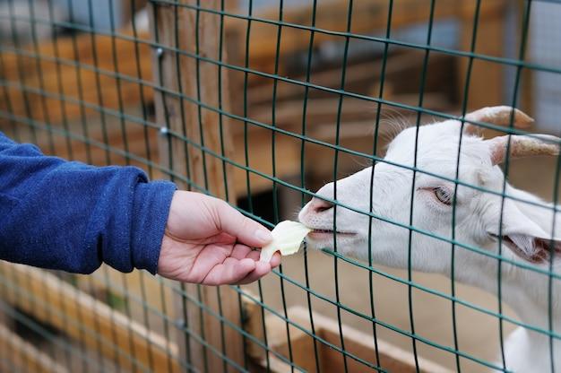 Cabra jovem comendo fora da mão