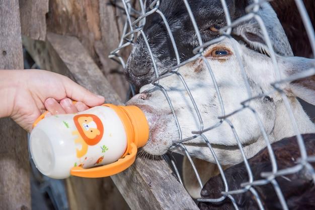Cabra, leite chupando, por, mão criança, em, fazenda Foto Premium