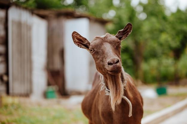 Cabra marrom com úbere grande e barba e colarinho fica no pátio da fazenda