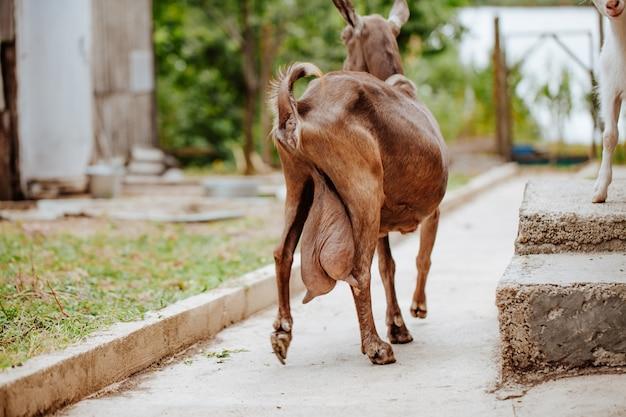 Cabra marrom com úbere grande no curral