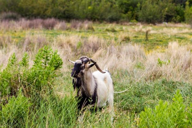 Cabra na ilha de korcula, croácia