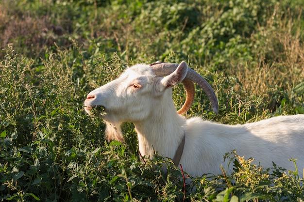 Cabra na natureza comendo grama
