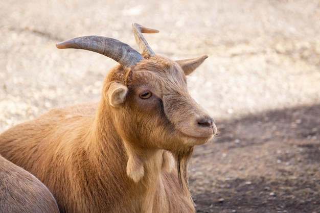 Cabra na natureza