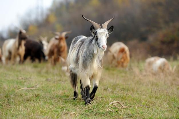 Cabra no prado. rebanho de cabras