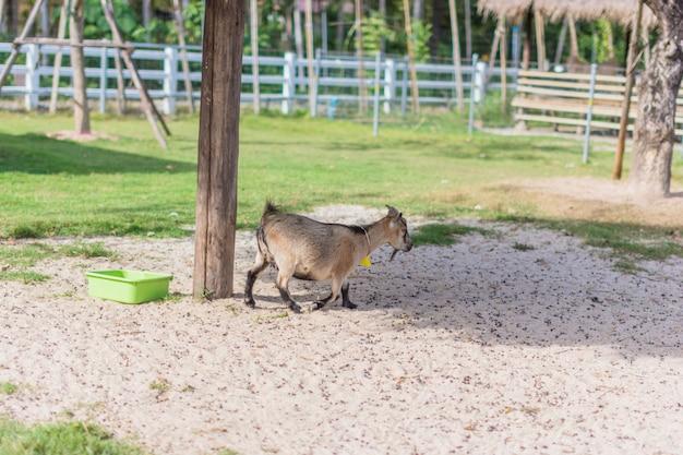 Cabra no zoológico