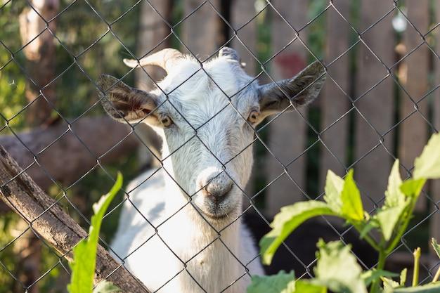 Cabra, olhando entre o portão na fazenda