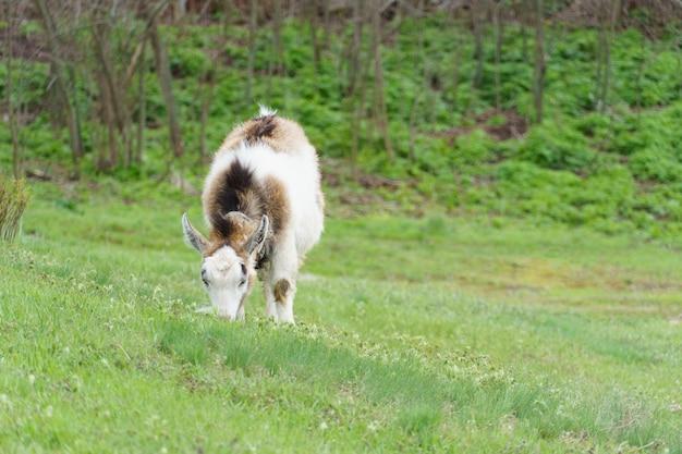 Cabra pasta em um prado verde. animal com chifres de estimação, copie o espaço