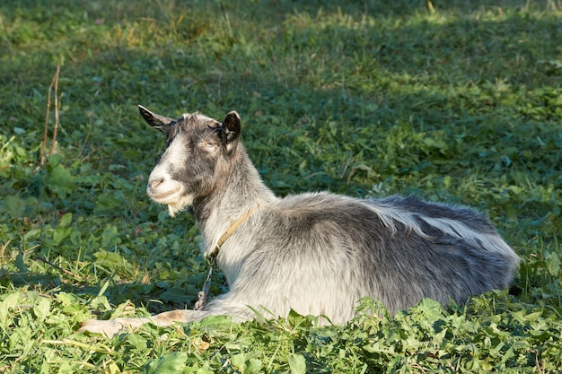 Cabra pastando em um prado no último sol quente