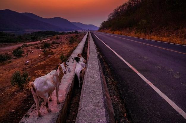 Cabras à beira do aterro ao pôr do sol