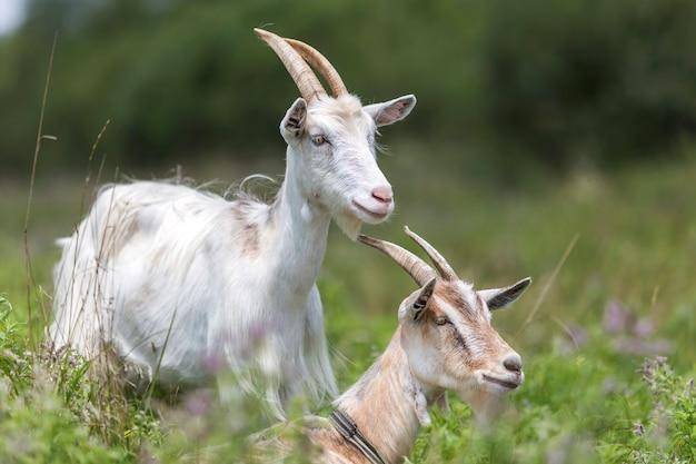 Cabras agradáveis domésticas com os chifres longos no dia de verão morno ensolarado brilhante que pastam em campos gramíneos verdes.