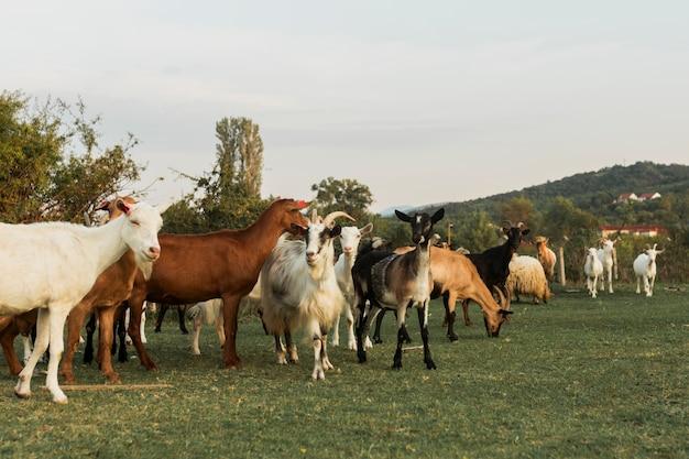 Cabras andando em uma pacífica paisagem verde