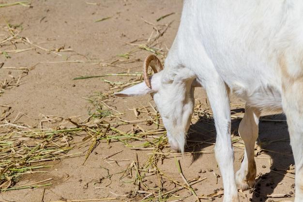 Cabras comendo em uma fazenda no rio de janeiro, brasil.