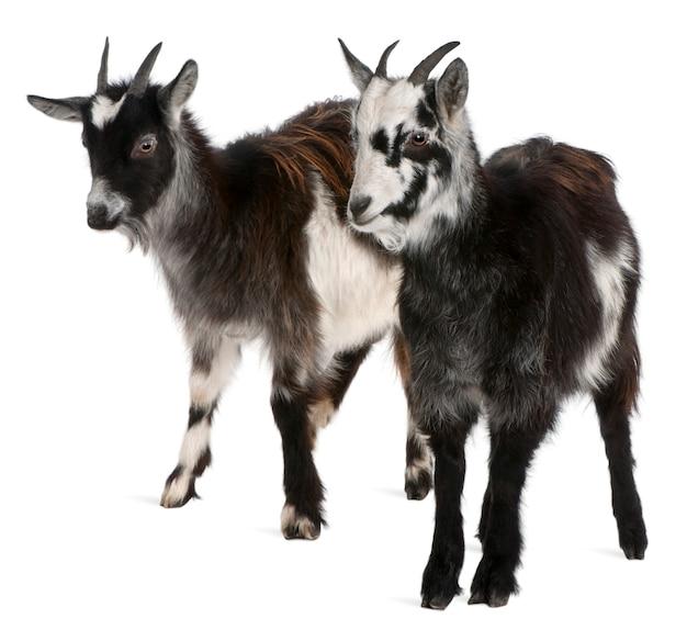 Cabras comuns, capra aegagrus hircus, na frente de fundo branco
