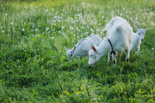Cabras da família local na casa da aldeia quintal