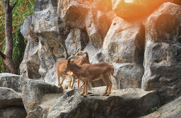 Cabras da montanha