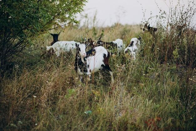 Cabras domésticas caminhando na fazenda