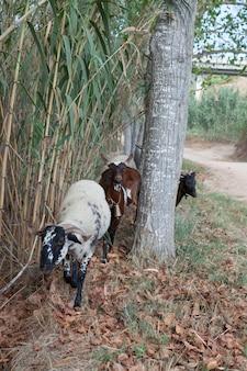 Cabras e ovelhas domésticas emergem dos arbustos de bambu.