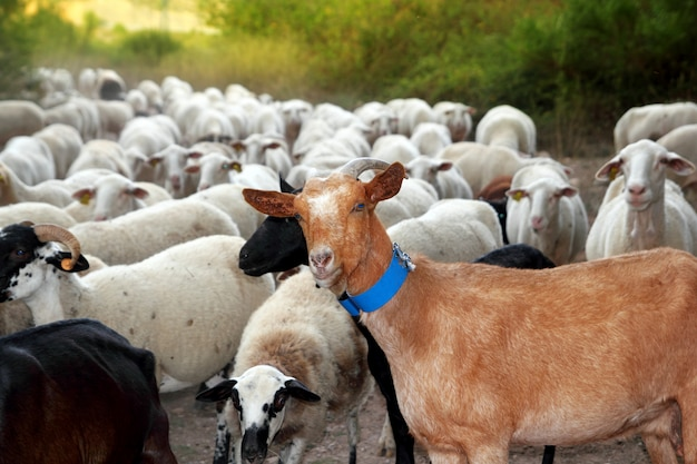 Cabras e ovelhas rebanho rebanho pista ao ar livre natureza