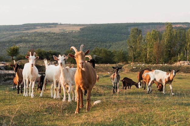 Cabras em pé no prado e olhando para a câmera