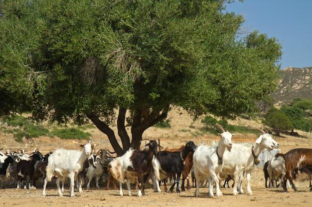 Cabras em uma montanha m