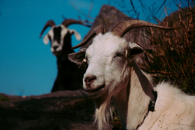 Cabras em uma montanha na noruega