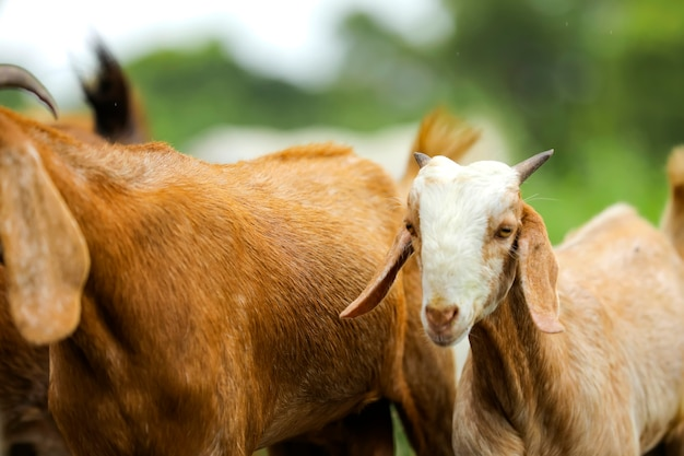 Cabras fofas no campo verde