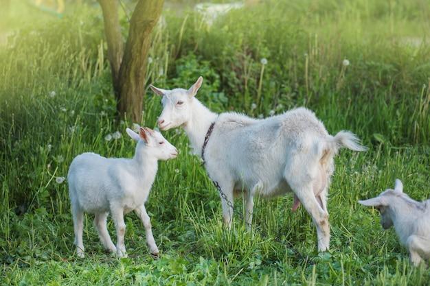 Cabras na fazenda da família. rebanho de cabras jogando. cabra com seus filhotes na fazenda