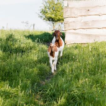Cabras na fazenda