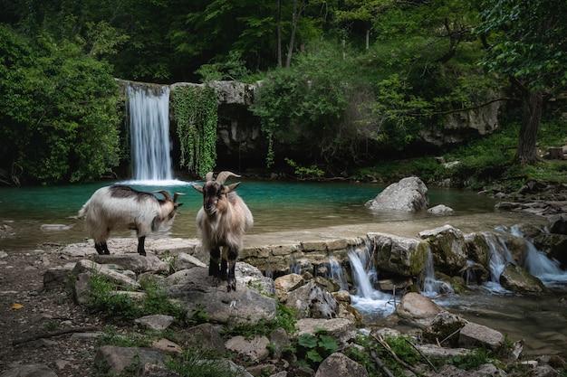 Cabras na margem do rio