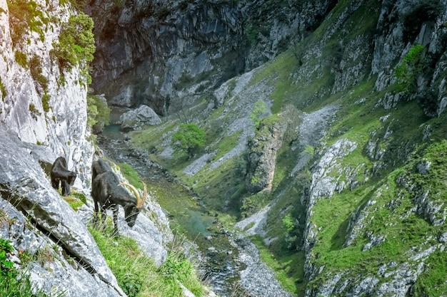 Cabras na paisagem de montanha nas astúrias