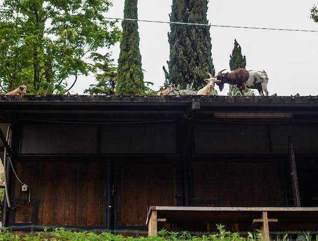 Cabras no telhado de uma construção rural em busca de comida