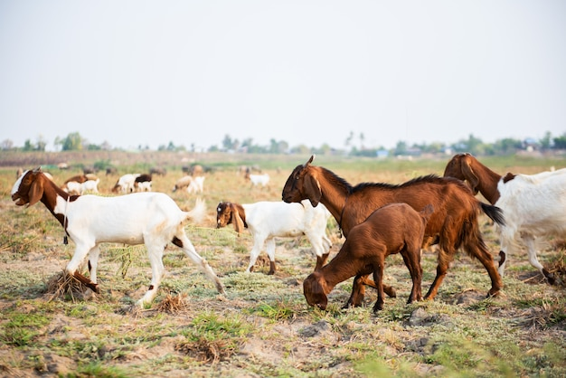 Cabras que comem a grama no prado verde