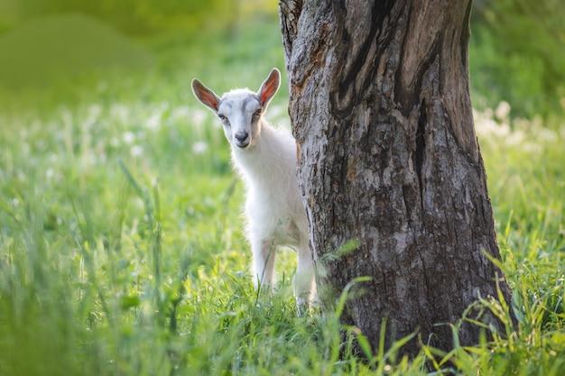 Cabrinha em dia de primavera quente. cabras da infância na fazenda