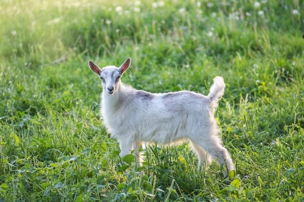 Cabrinha em dia de primavera quente. cabras de infância na fazenda. bela cabra posando