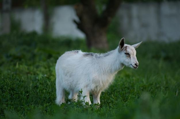 Cabrito de criança em dia quente de primavera. cabras de infância na fazenda. levantamento bonito da cabra