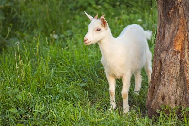 Cabrito no dia quente de primavera. infância cabras na fazenda. linda cabra posando