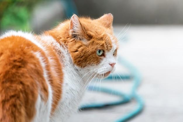 Caça de gato vermelho no jardim de verão