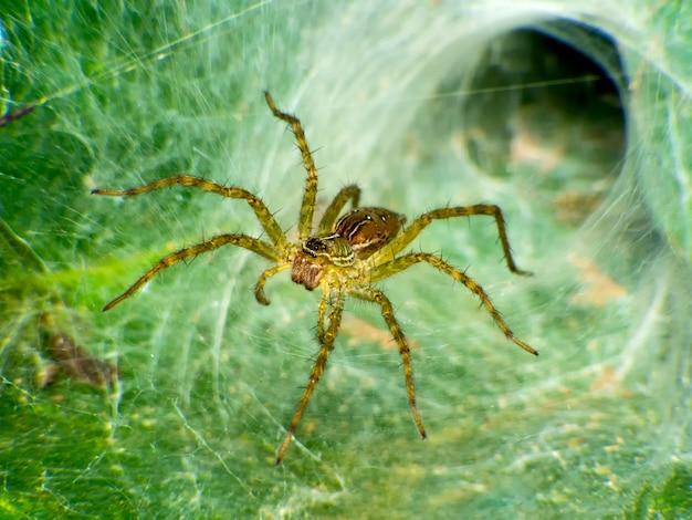 Caçador de aranha lince