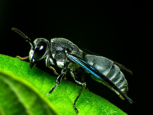 Caçador de insetos veneno preto macro