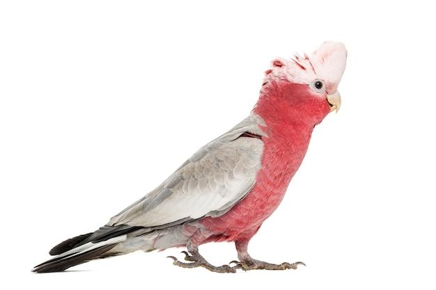 Cacatua-de-peito-rosa (2 anos) isolada no branco