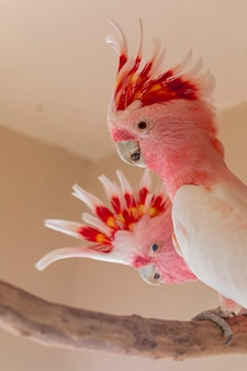 Cacatua do major mitchell (lophochroa leadbeateri), também conhecida como cacatua de leadbeater ou cacatua rosa.