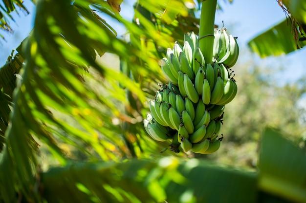 Cacho de banana na palmeira.