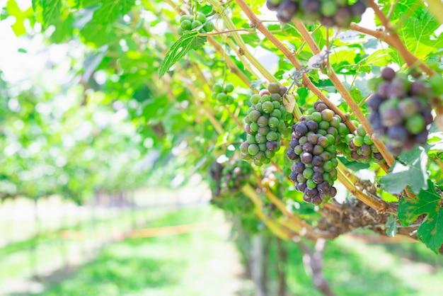 Cacho de uva vermelha e branca na videira. bando roxo maduro. conceito de temporada de colheita ao ar livre. vinhedo