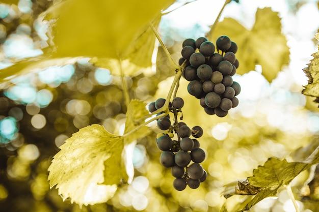 Cacho de uvas azuis no vinhedo ao pôr do sol antes da colheita