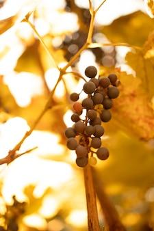 Cacho de uvas azuis pendurado no vinhedo em dia de outono