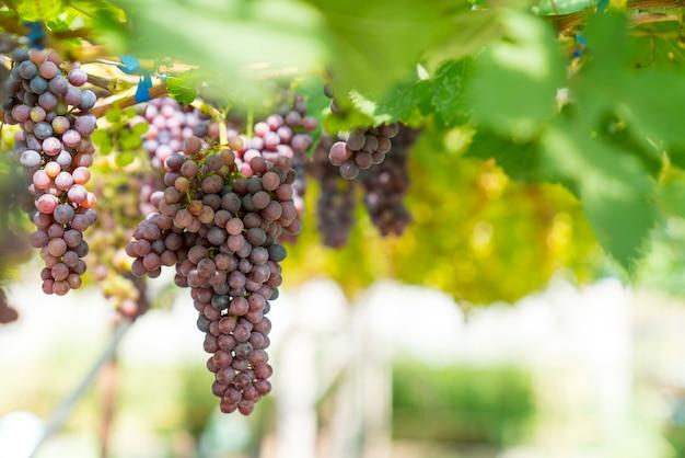 Cacho de uvas em uma videira ao sol