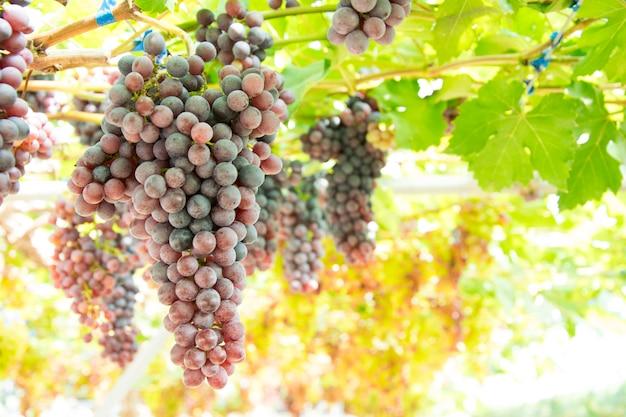 Cacho de uvas em uma videira por do sol.