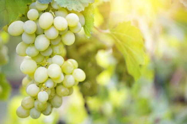 Cacho de uvas maduras doces em um galho
